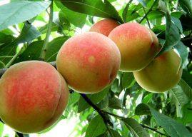 水蜜桃栽培技术