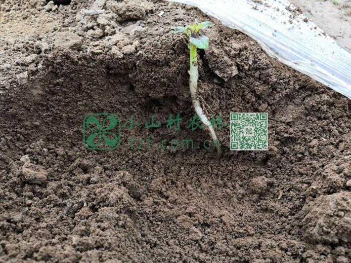 挖开地面,土豆苗长势良好,扎根较深,嫩苗粗壮,预示着土豆的丰收。