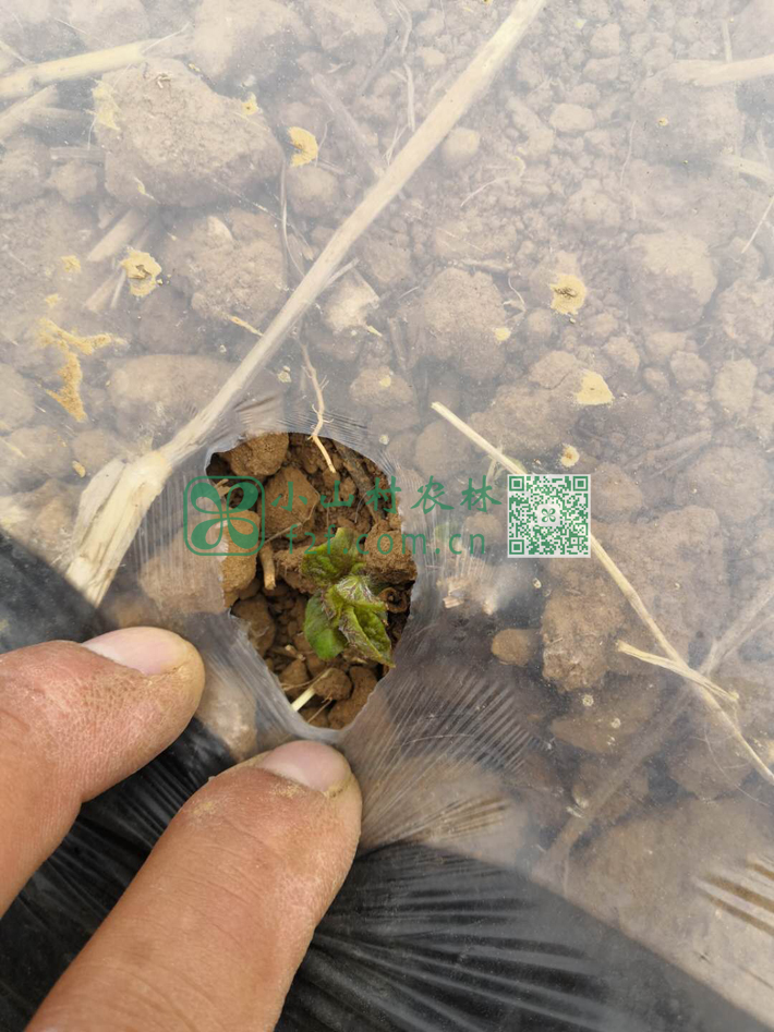 在出芽的土豆覆膜上抠一个小孔,不会使嫩芽晒伤,也不会因顶不破覆膜而折断或不透气而发黄霉变。