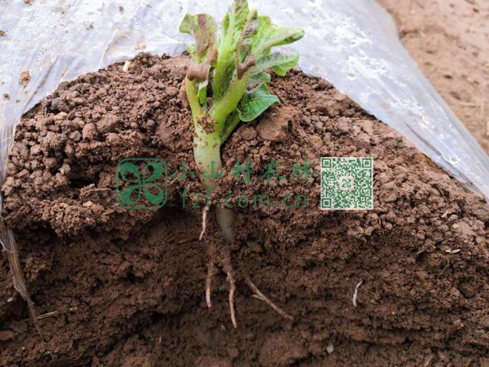 第一次浇水后,黄色土豆的根系生长很快。