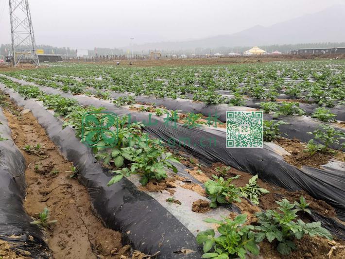 土豆幼苗浇水和拔草。