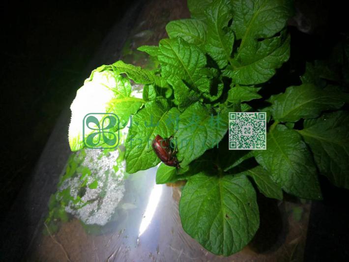 因为没使用农药,我们的土豆田也是小动物和各种昆虫的天堂。