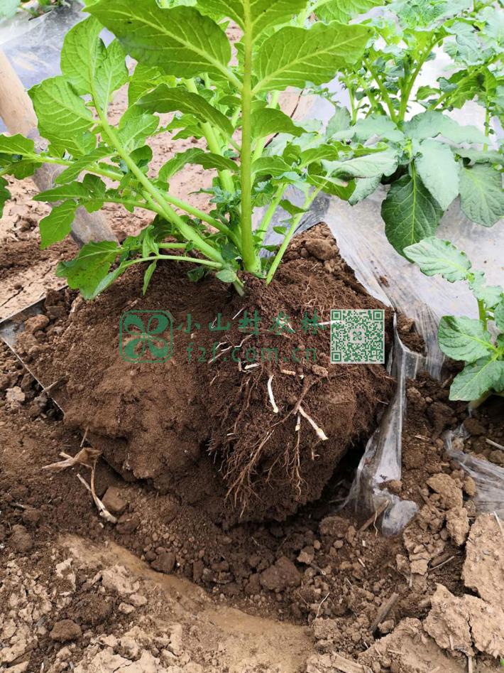 几次灌溉后的土豆苗根系发达,已经可以隐约看到黄豆般大小的土豆了。