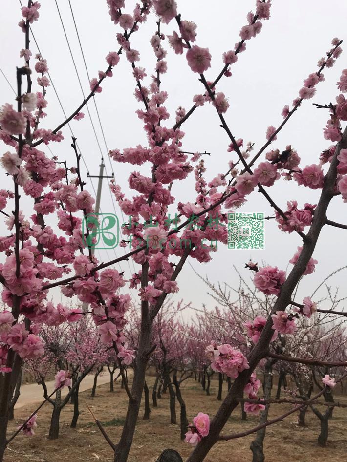 由于气温很低,这个阶段,杂草还很少,除了浇水灌溉,除草的工作任务不重。俺们有时间和心情偶尔看看周边上岗上盛开的杏花、桃花和樱花。