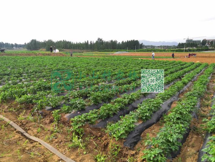 天气逐渐回暖,杨树发芽,柳絮漫天飞扬的时候,土豆苗就已经油绿耀眼了。天一直不下雨,俺们只能出动各种工具浇水抗旱。