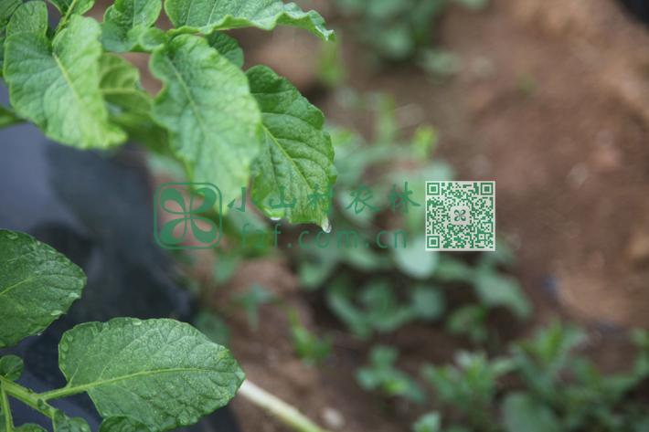俗话说春雨贵如油,水源紧张,俺们有时只能喷灌土豆幼苗补水,以缓解旱情。