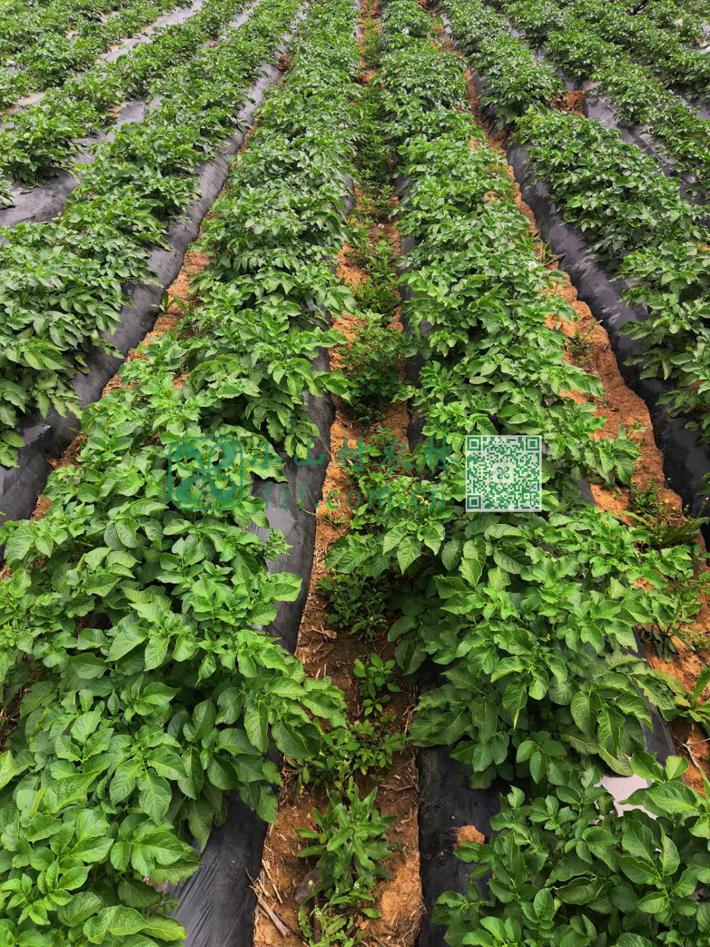 三四次浇水后,土豆苗每天一个样的快速生长起来。走进土豆田观察,没有使用除草剂的地里,到处都是灰灰菜等野菜杂草,灰灰菜等野菜可以作为蔬菜来吃,它的味道和营养很像菠菜,但除草任务也日益繁重了。