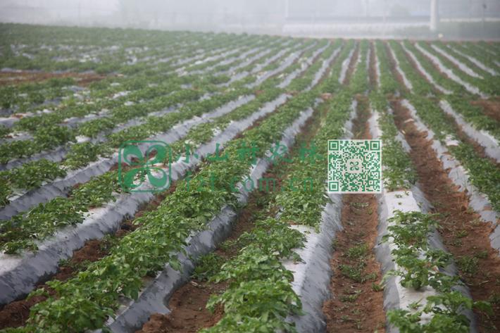 土豆田的清晨薄雾轻浮。