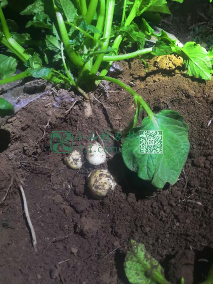 很多土豆苗已经默不作声地孕育着雪白稚嫩的小土豆仔了。