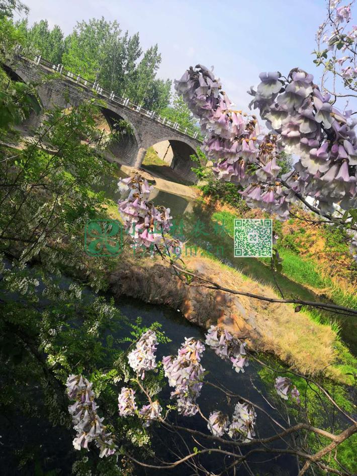 俺们小水库边上盛开的梧桐花。