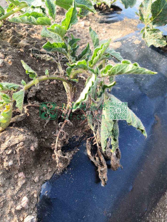 被地面下害虫咬断根系的土豆苗。