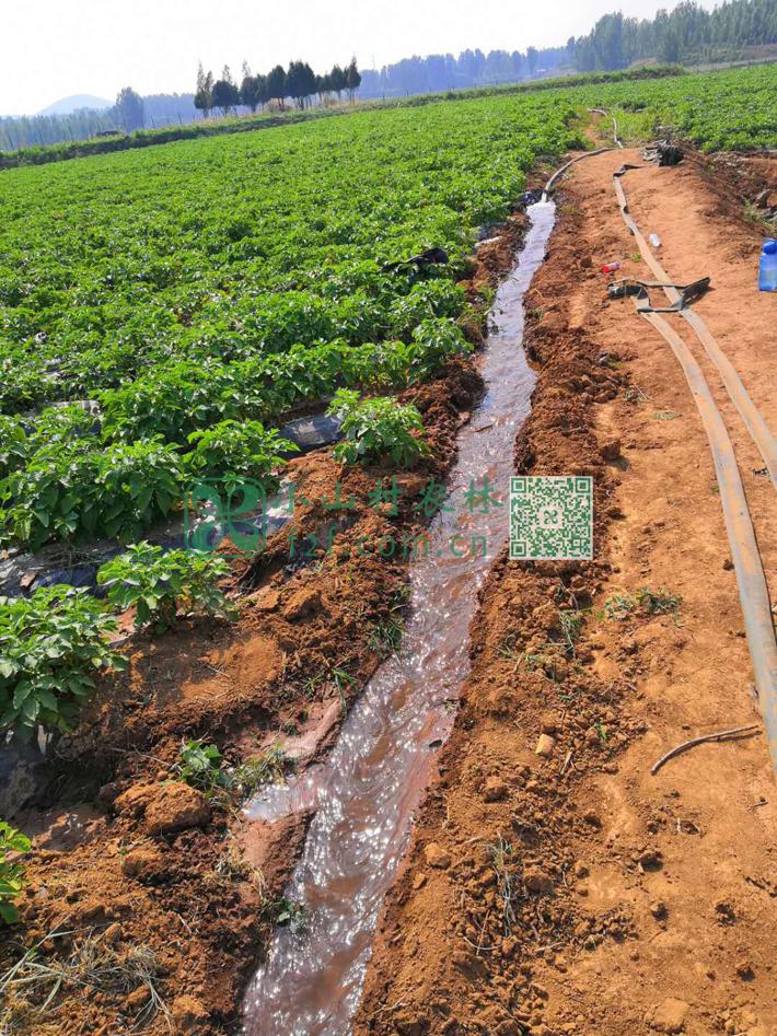 土豆生长期间不断浇水。