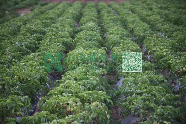 土豆秧子由墨绿转为微黄,汗水流了,时节到了,布谷鸟的呼喊声渐渐少了,辛苦的人们就知道,土豆即将成熟,收获的季节也快到了。