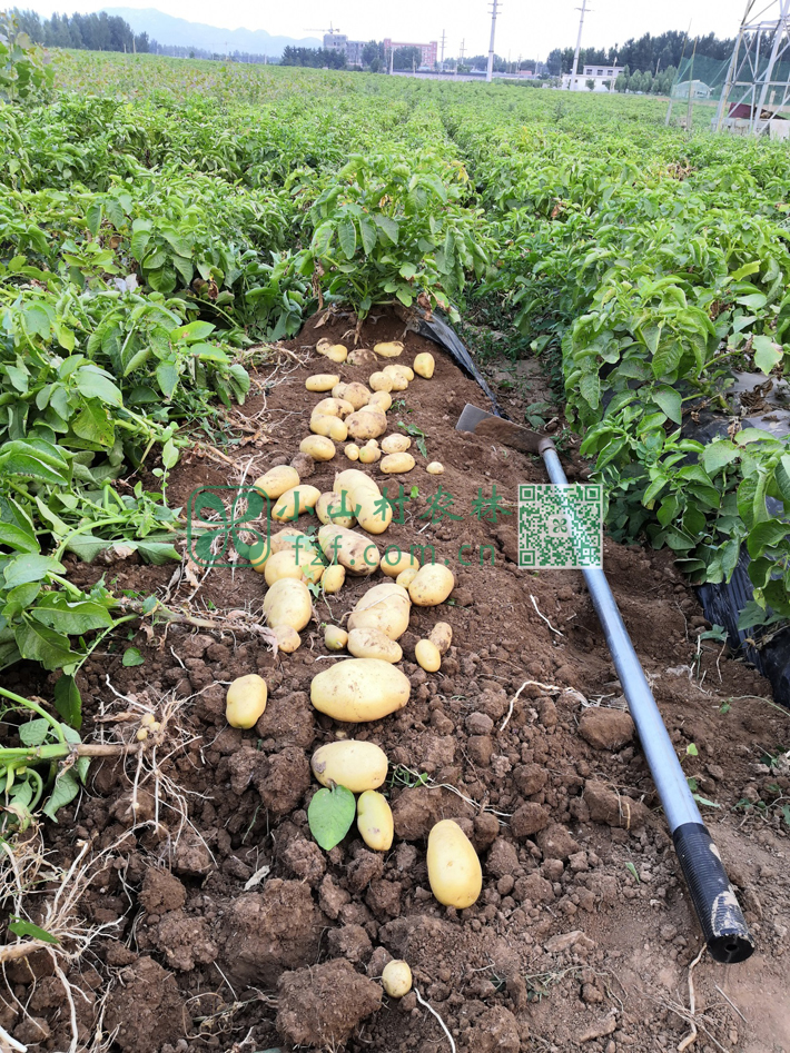 由于没有使用化肥和部分有病虫害,俺们的土豆收成不如别人,尽管也有个别个头很大,总体来说,很多小的土豆没有长成。