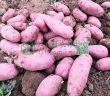伙伴们把颜色金黄的黄色土豆称为黄金玉土豆,紫色土豆被称为胭脂玉土豆。