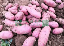小山村,遇见最美的土豆