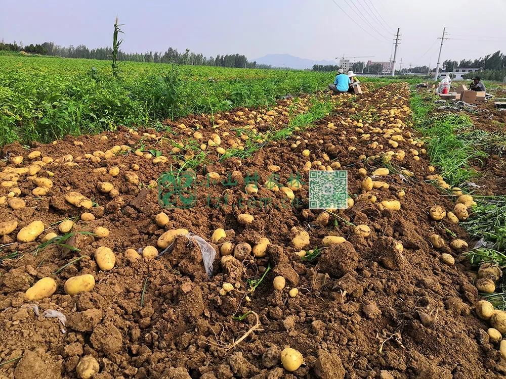 收获的土豆。