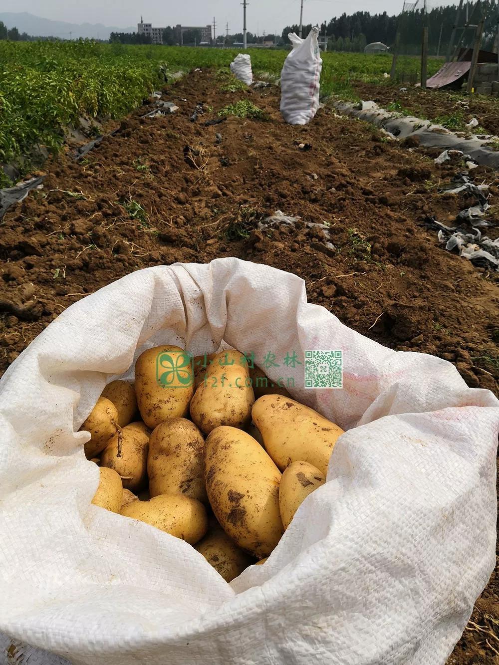 装袋的土豆。