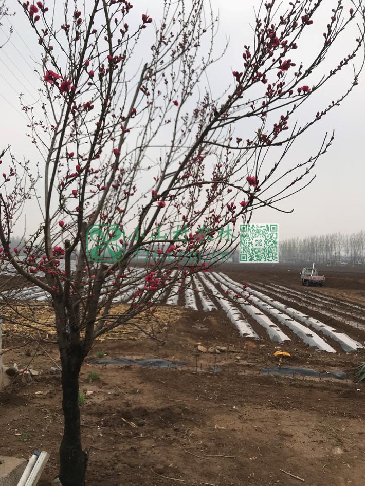 土豆快长出嫩牙来的时候,地头的樱花都还没怎么开呢。