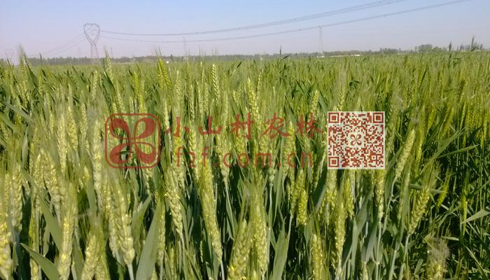 小米麦穗图片