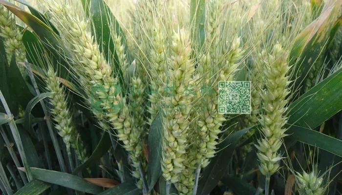 条锈病高产小麦图片