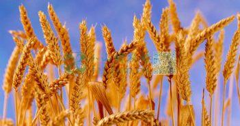 小麦收割图片