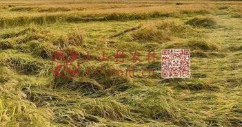 小麦倒伏图片