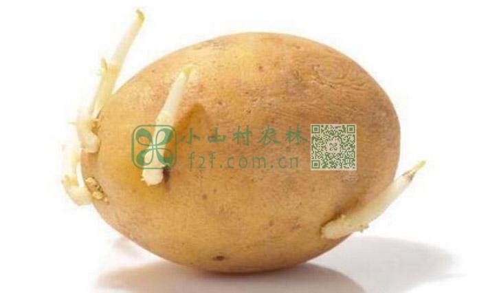 发芽土豆图片