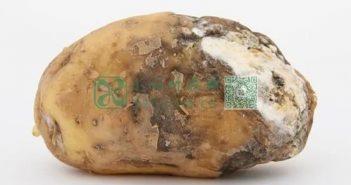 发霉土豆图片
