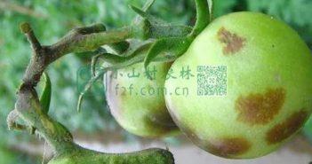西红柿常见病虫害及防治措施图片