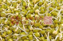 绿豆发芽图片
