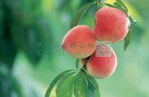 水蜜桃的功效图片
